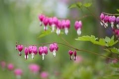 Красивые spectabilis Dicentra цветка чуткого человека форм Стоковое Изображение
