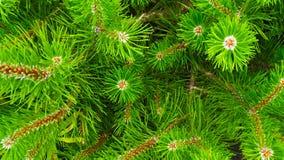 Красивые sprigs сосны карлика стоковые изображения rf