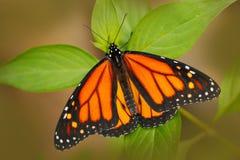 Красивые stelenes Metamorpha бабочки в среду обитания природы, от Коста-Рика Бабочка в насекомом зеленого леса славном сидя дальш Стоковое Изображение RF