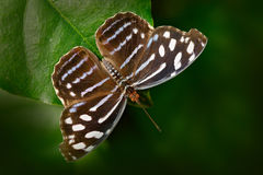Красивые stelenes Metamorpha бабочки в среду обитания природы, от Коста-Рика Бабочка в насекомом зеленого леса славном сидя дальш Стоковые Изображения