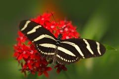 Красивые stelenes Metamorpha бабочки в среду обитания природы, от Коста-Рика Бабочка в насекомом зеленого леса славном сидя дальш Стоковое фото RF