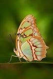 Красивые stelenes Metamorpha бабочки в среду обитания природы Stelenes Metamorpha от Коста-Рика Бабочка в зеленом Nic леса Стоковые Изображения