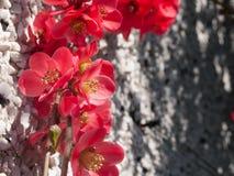Красивые sunlit цветя розовые цветения айвы в весеннем времени стоковое фото
