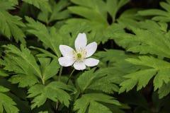 Красивые sylvestris ветреницы цветка (Snowdrop) стоковое изображение rf