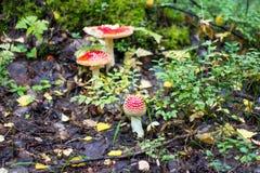 Красивые toadstools в лесе Стоковые Изображения RF