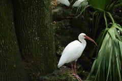 Красивый американский белый ibis Стоковые Изображения RF