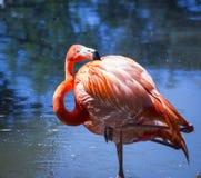 Красивый американский розовый фламинго Стоковые Фотографии RF