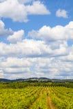 Красивый ландшафт виноградника Стоковые Фото
