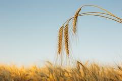 Красивый ландшафт захода солнца природы с ушами золотого конца пшеницы вверх Сельская сцена под солнечным светом Натуральный прод Стоковые Изображения RF