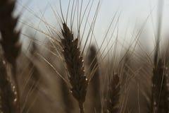Красивый ландшафт захода солнца природы Уши золотого конца пшеницы вверх Сельская сцена под солнечным светом Предпосылка лета зре Стоковая Фотография