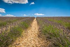 Красивый ландшафт зацветая поля лаванды, сиротливого uphil дерева Стоковое Изображение