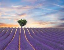 Красивый ландшафт зацветая поля лаванды Стоковые Фотографии RF