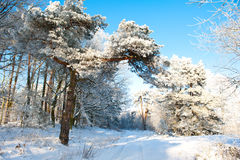 Красивый ландшафт зимы с снегом покрыл деревья - солнечный зимний день Стоковое Изображение RF