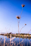 Красивый ландшафт на банке реки reeds крупный план Стоковые Фото