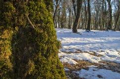 Красивый ландшафт на заходе солнца в древесине между деревьями напрягает в зимнем периоде, солнечном пути в лесе Azerba зимы снеж Стоковая Фотография