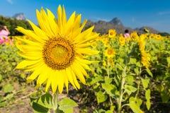 Красивый ландшафт с полем солнцецвета над голубым небом Стоковые Изображения