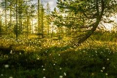 Красивый ландшафт трясины с cottongrass в заходе солнца с пирофакелом солнца стоковое фото