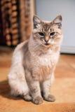 Красивый бежевый кот стоковая фотография