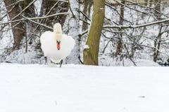Красивый безгласный лебедь в зиме на снеге Стоковое Изображение RF