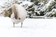 Красивый безгласный лебедь в зиме на снеге Стоковые Изображения