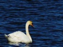 Красивый безгласный лебедь в море Стоковое Изображение RF