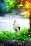 Красивый белый аист стоковое изображение rf