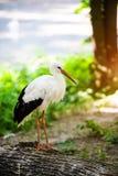 Красивый белый аист стоковая фотография