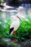 Красивый белый аист стоковое фото