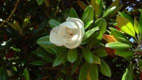 Красивый белый большой цветок на ветви дерева магнолии сток-видео