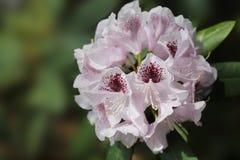Красивый белый бутон рододендрона восхищается со своей красотой стоковая фотография rf