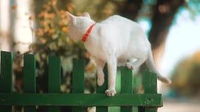 Красивый белый кот идя на деревянную загородку под голубым небом лета кот на концепции образа жизни улицы сток-видео
