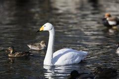 Красивый белый лебедь в воде Стоковое Изображение
