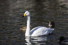 Красивый белый лебедь в воде Стоковые Фотографии RF