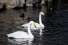 Красивый белый лебедь в воде Стоковые Изображения RF
