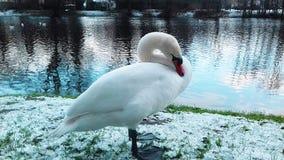 Красивый белый лебедь в Польше в зиме стоковое фото