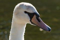Красивый белый лебедь в профиле стоковые изображения