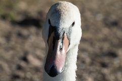 Красивый белый лебедь захватил крупный план и в профиле стоковая фотография rf