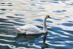 Красивый белый лебедь плавает в кровоточенном озере стоковая фотография rf