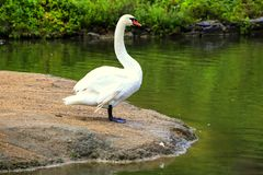 Красивый белый лебедь стоит на камне в парке Sophia в Uman, Украине стоковые фотографии rf
