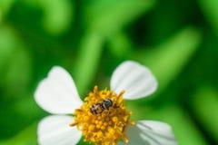 Красивый белый ромашник цветет пчела Стоковые Фотографии RF