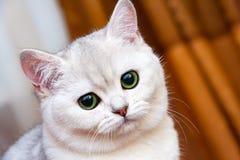 Красивый белый серебристый великобританский кот с зелеными глазами стоковые фотографии rf