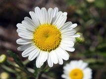 Красивый белый стоцвет цветет в луге, Литве Стоковое Фото