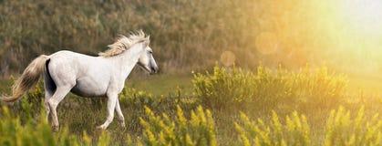 Красивый белый ход дикой лошади Стоковая Фотография