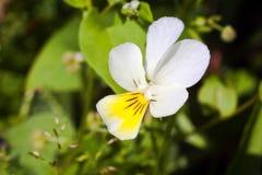 Красивый белый цветок Стоковая Фотография