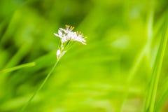 Красивый белый цветок tuberosum лукабатуна (chives чеснока, восточного чеснока, азиатских chives, китайских chives, китайского лу Стоковое фото RF