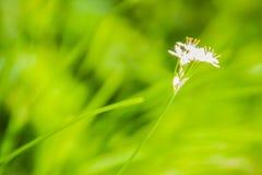 Красивый белый цветок tuberosum лукабатуна (chives чеснока, восточного чеснока, азиатских chives, китайских chives, китайского лу Стоковая Фотография RF