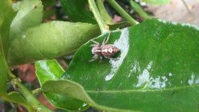 красивый беременный паук стоковое изображение
