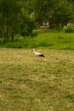 Красивый белый аист подавая в луге около загородного дома Стоковые Фото