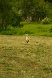 Красивый белый аист подавая в луге около загородного дома Стоковые Изображения RF
