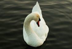 Красивый белый лебедь в темном пруде стоковые фотографии rf